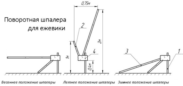Вирощування ожини на шпалері. Секрети, конструкції та відгуки