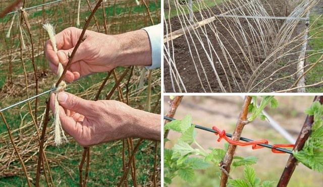 Як правильно підв'язувати кущі малини