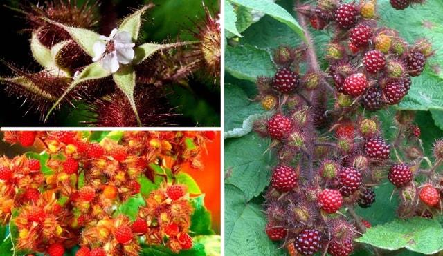 Квітки та плоди японської малини