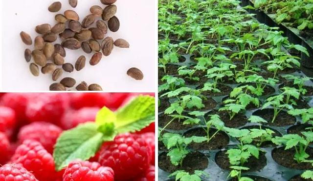З маленького насіння проростає кущик який згодом дасть смачну ягоду