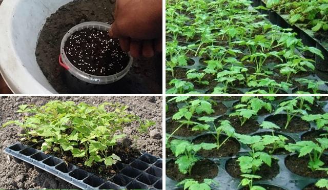 Проростання малини з насіння