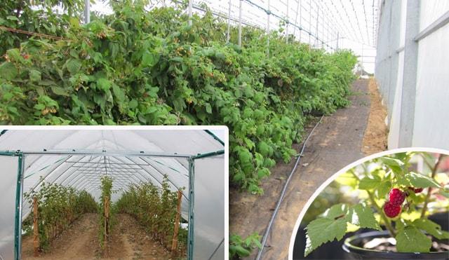 Вирощування малини в теплиці