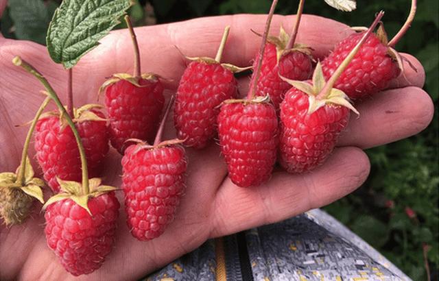 Ягоди малини Малинова гряда крупним планом