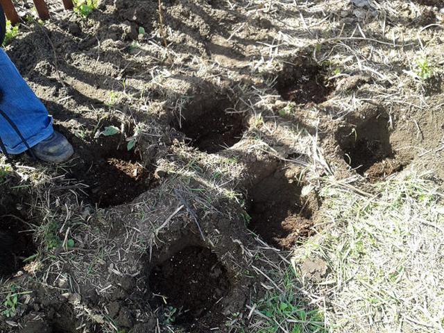 Ямки для посадок малини