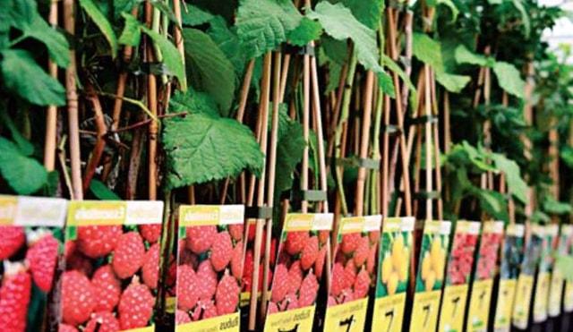 Різноманіття сортів малини