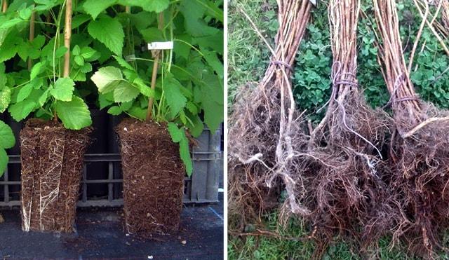 Саджанці малини та їх коренева система