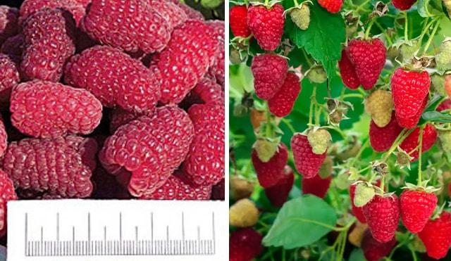 Велика ягода сорту Рубінове намисто