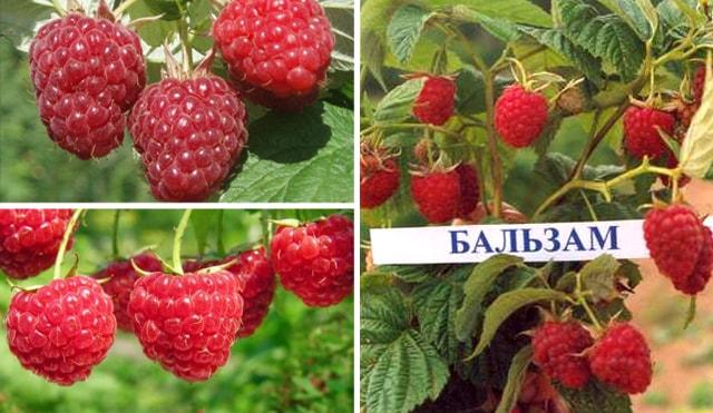 Вигляд ягоди сорту Бальзам