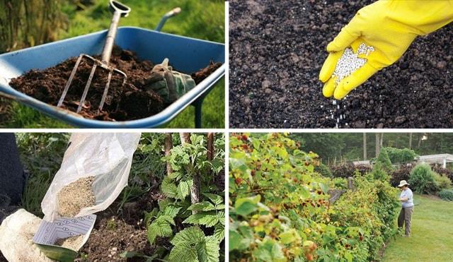 Для гарного урожаю кущі необхідно прикормлювати