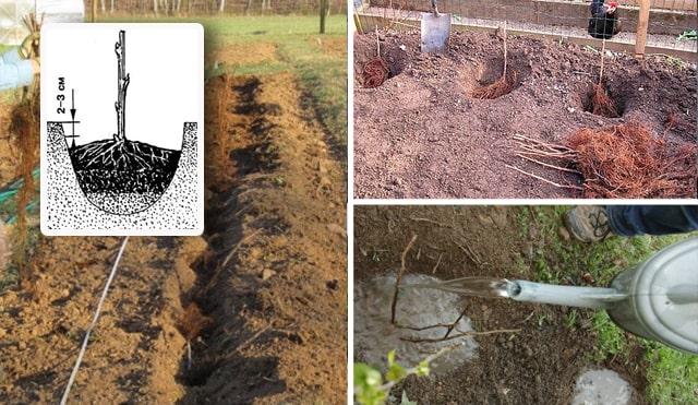 порядок посадки малины