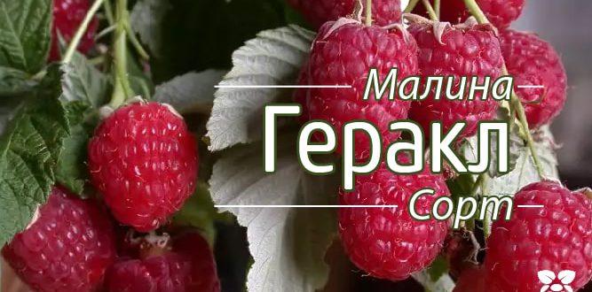 Сорт малини Геракл