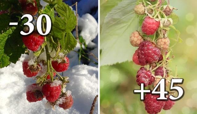 Таруса переносить морози до -30 градусів
