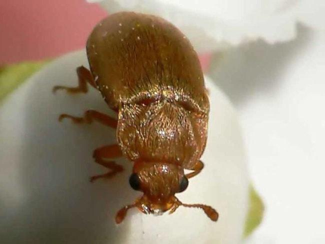 Малини жук в збільшеному вигляді