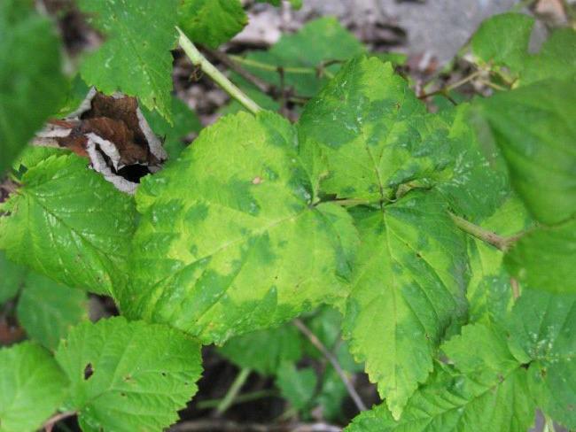 Мозаїка на листках малини