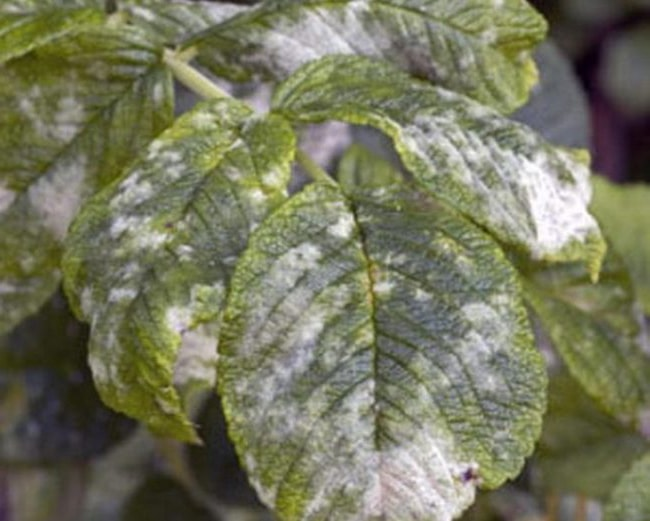 Борошниста роса на зеленому листі малини