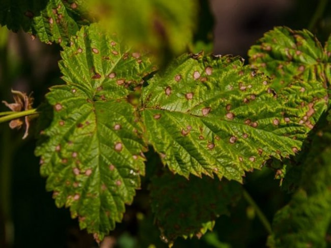 Іржаві плями на листі малини